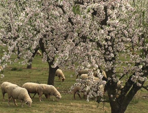 Mieux vaut silence, écouter… Printemps et moutons, bêler !